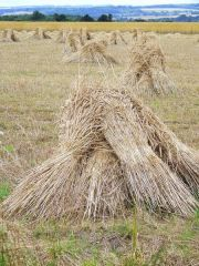 The Corn stooks or shocks were left a few days to dry in the sun (if any) too much rain causes the corn to start growing in the ears and it would become useless.