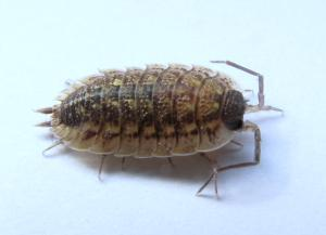 Porcellio spinicornis by Jomegat, Contributor  Creative Commons License source http://bugguide.net/node/view/315584/bgpage