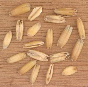Oat grains source wikicommons 606px-Haverkorrels_Avena_sativa