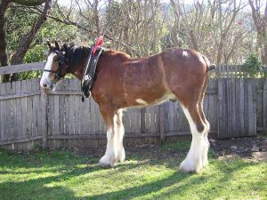 An example of a Clydesdale Horse. This file is licensed under the Creative Commons Attribution-Share Alike 3.0 Unported license.